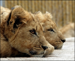 Lions photo by Anita Hromish