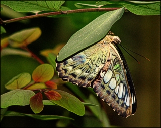 Asian Clipper Butterfly - Anita Hromish