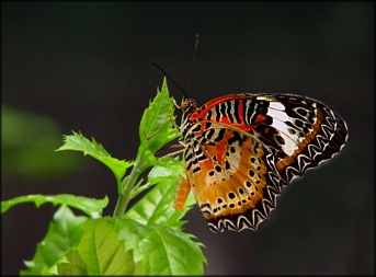 Malay Lacewing Butterfly - Anita Hromish