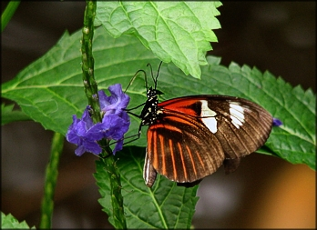 Doris Longwing - Photo by A.Hromish