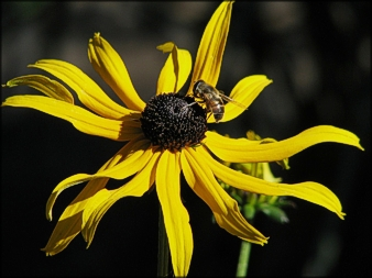 Bee on yellow daisy photo by Anita Hromish