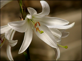 White Lily photo by Anita Hromish